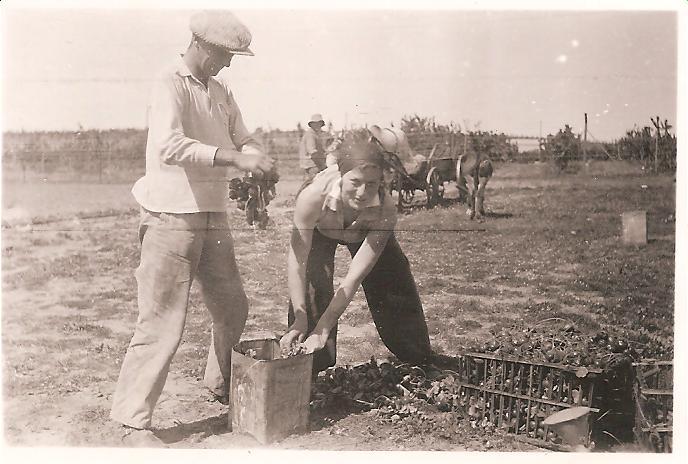 גידול ירקות בכפר - איסוף צנוניות
